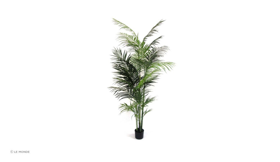Areca Palms Potted
