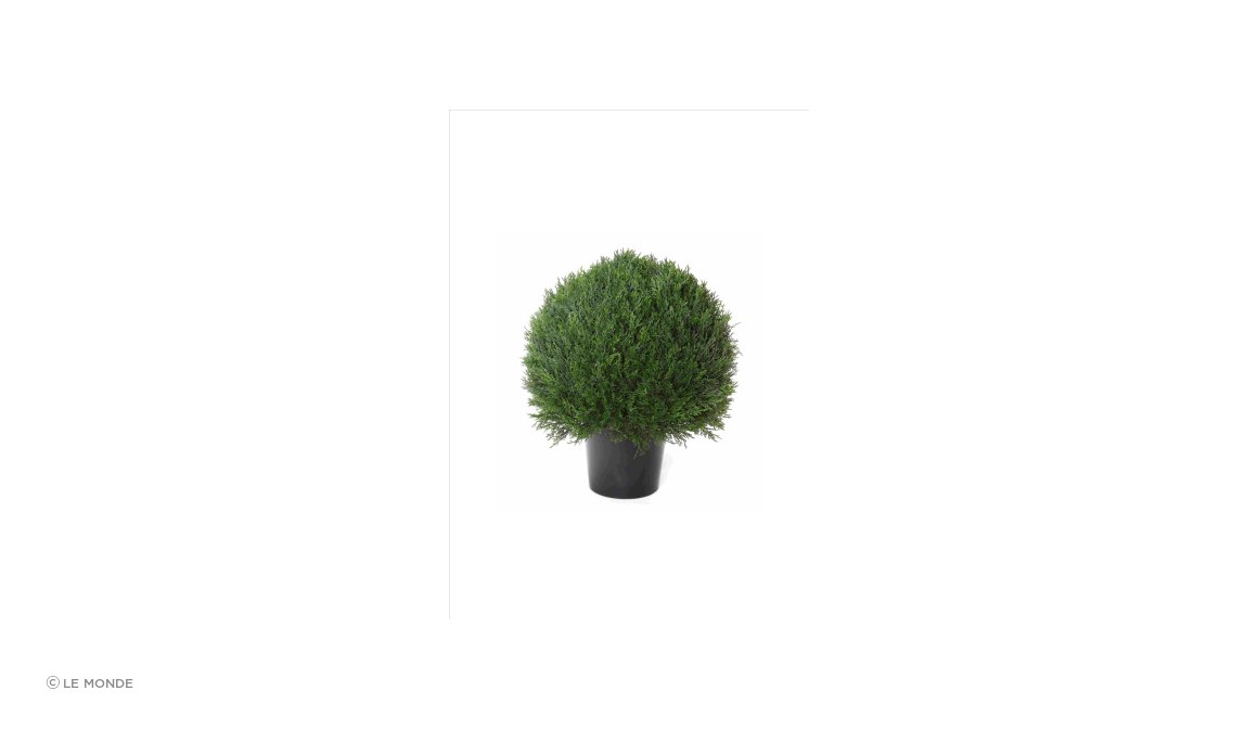 Pond Cypress Ball Topiary Potted